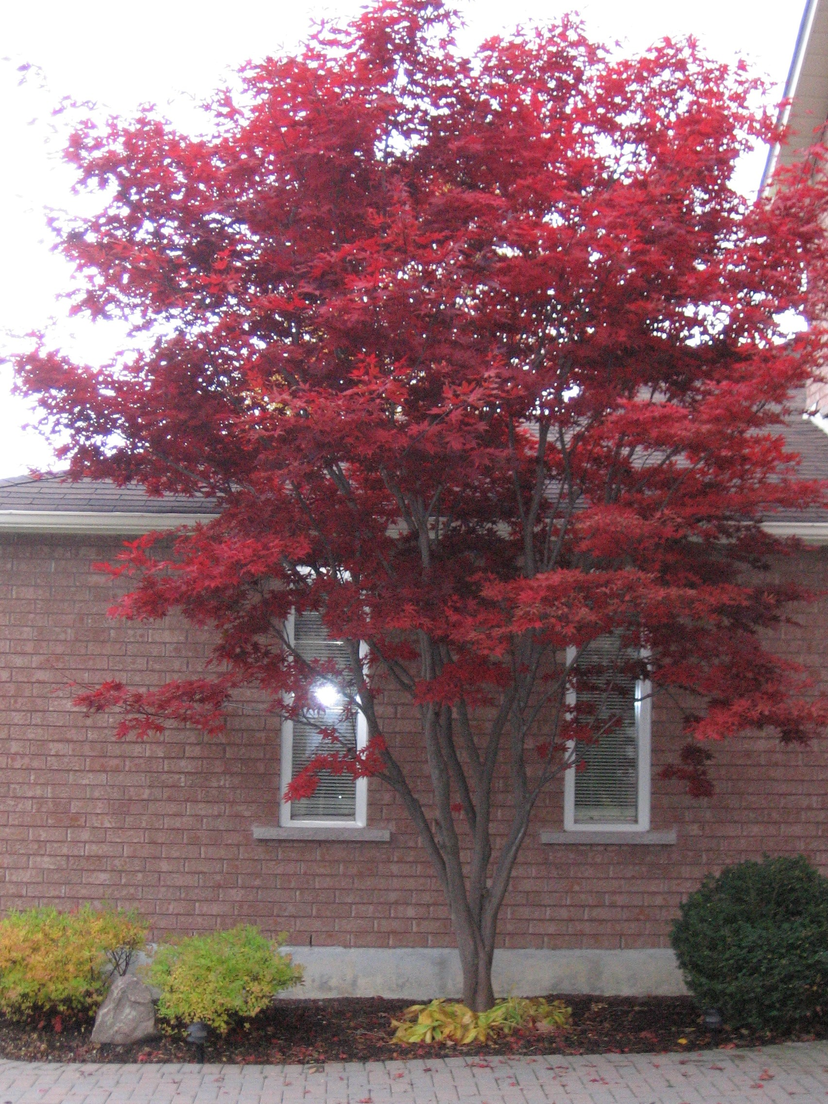 Mighty Japanese Maple in my yard